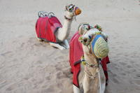 4x4-dubai-desert-safari-with-dune-bashing-sandboarding-camel-riding-in-dubai-145731