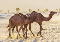 dubai-desert-morning-tour-in-4x4-vehicle-camel-ride-quad-bike-tour-in-dubai-152597